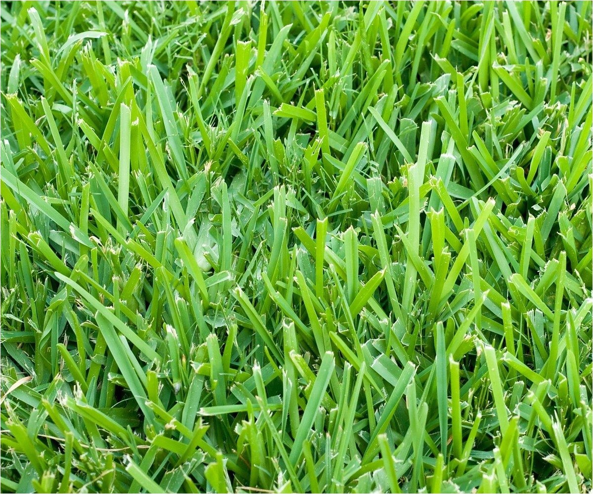 Types Of Grass In Florida Six Types Of Grass for Florida Lawns