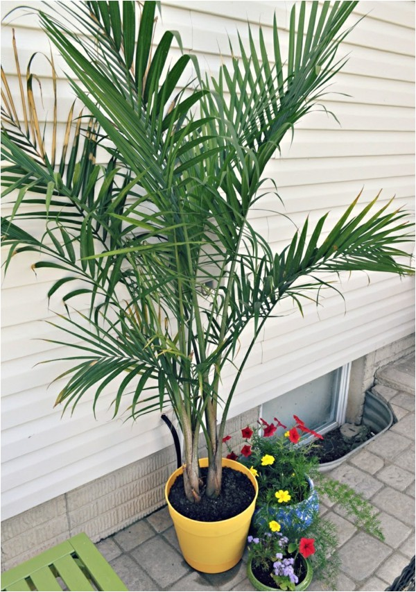 potted palm images which are the typical palm species