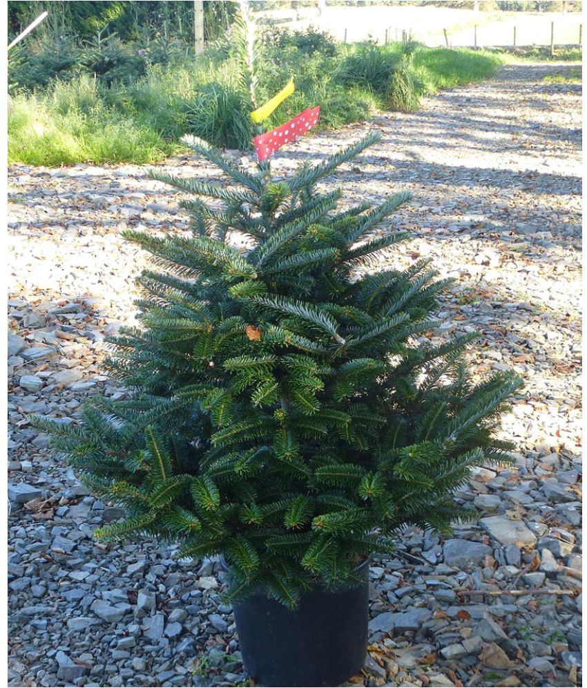 eaglesford christmas tree live plant with best pot indoor indoor plant