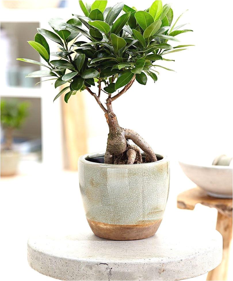 achetez maintenant une plante d interieur bonsa ficus ginseng