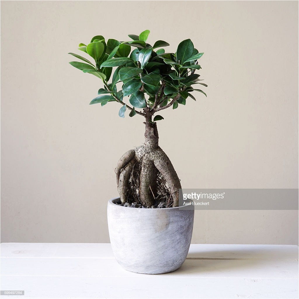 care instructions for ficus microcarpa ginseng adinaporter. Black Bedroom Furniture Sets. Home Design Ideas