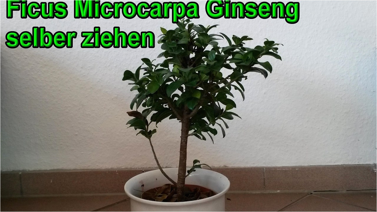 ficus microcarpa ginseng pflege genial 29 pflege ficus ginseng