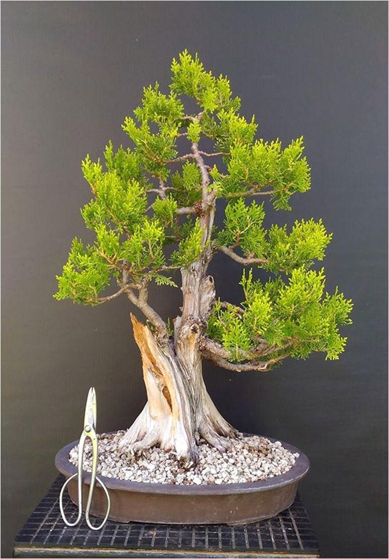 ficus microcarpa ginseng pflege best 12 best ficus ginseng bonsai