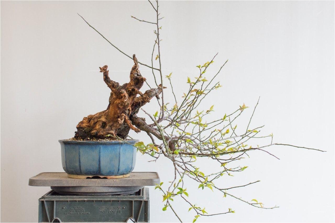 making a big cut on an ume bonsai