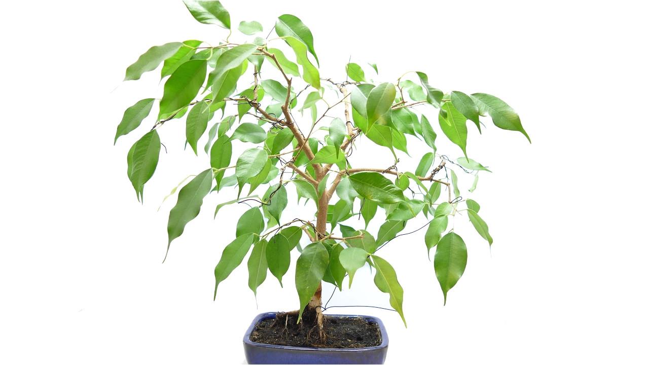 ficus benjamina bonsai wiring and update
