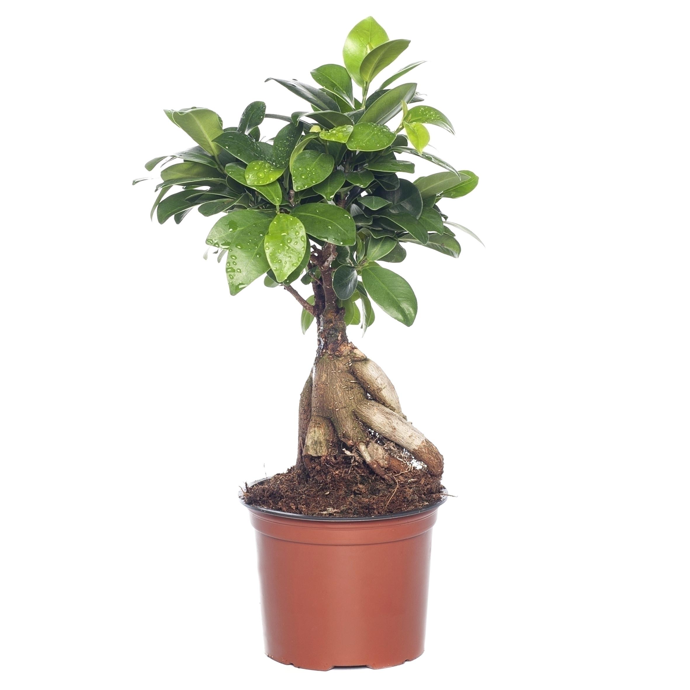 ficus microcarpa ginseng pflege schon bonsai verzorgen podocarpus bonsai with bonsai verzorgen top