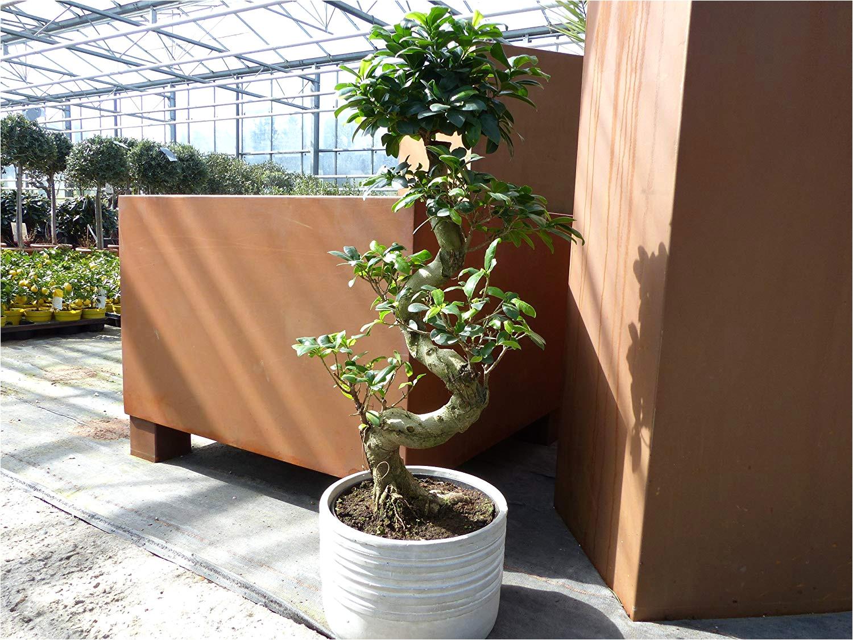ficus microcarpa ginseng pflege luxus im tontopf bonsai ficus ginseng 70 80 cm zimmer buropflanze