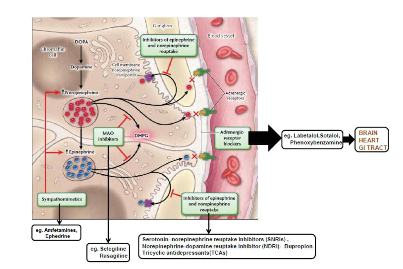 figure 4 mechanisms of pharmacologic interference with catecholamines and metanephrines 235 monoamine