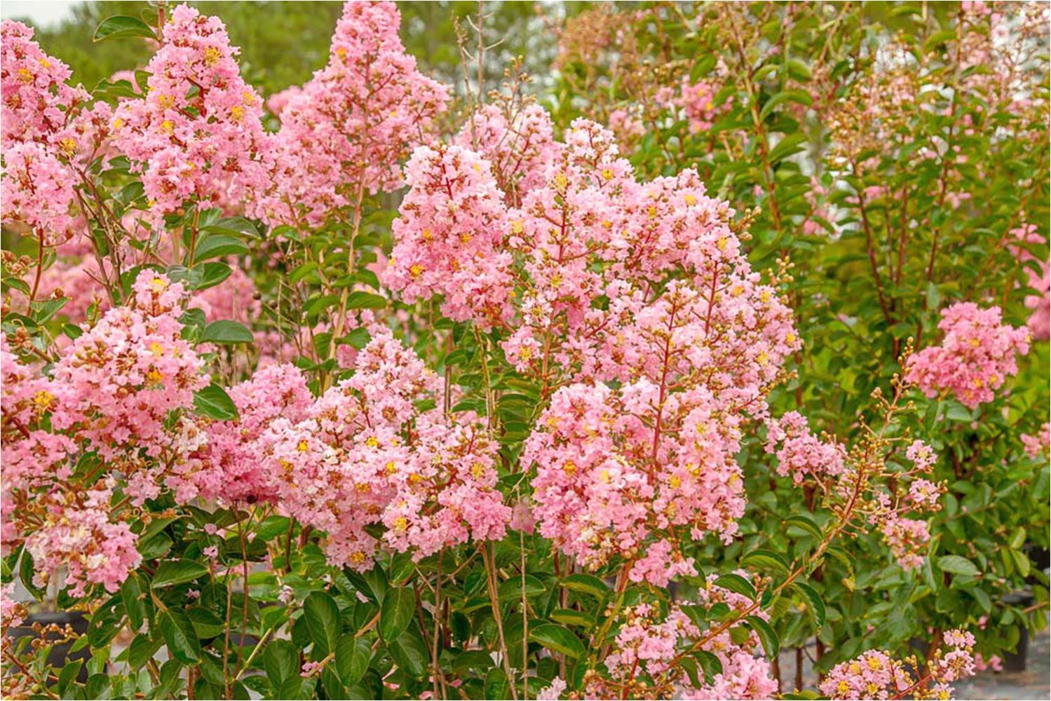 amazon com sioux crape myrtle size 4 5 live plant includes special blend fertilizer planting guide garden outdoor