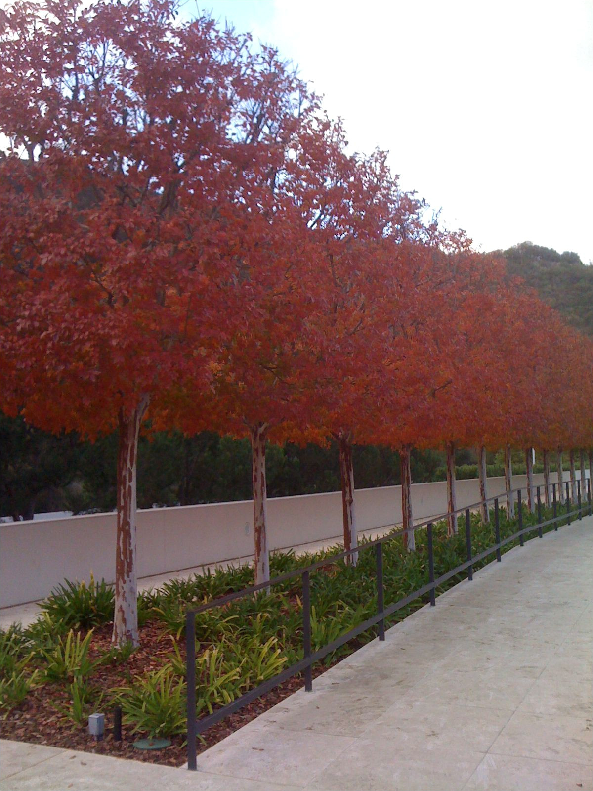 crape myrtle pleaching at the getty center