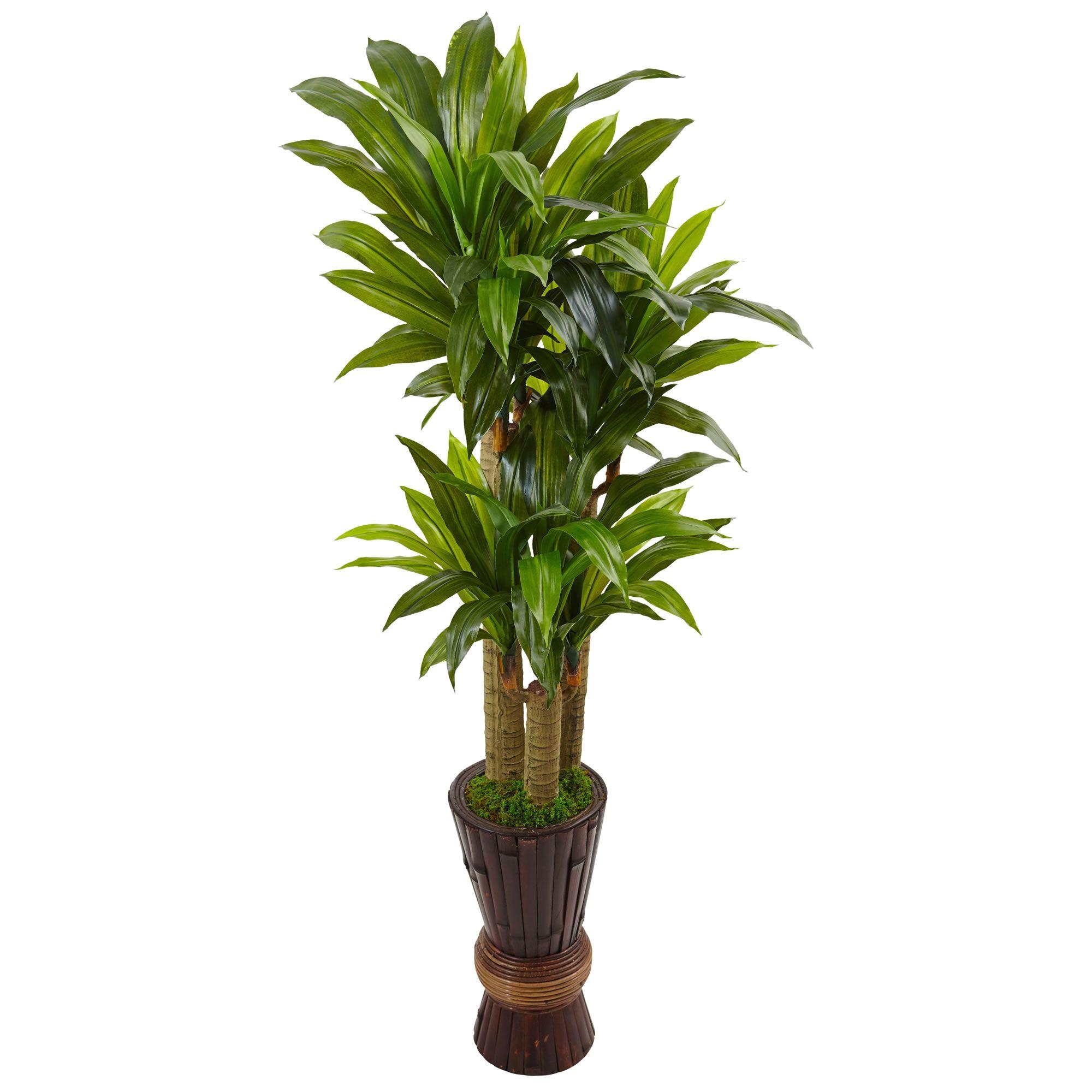 5 cornstalk dracaena plant in wooden planter nearly natural