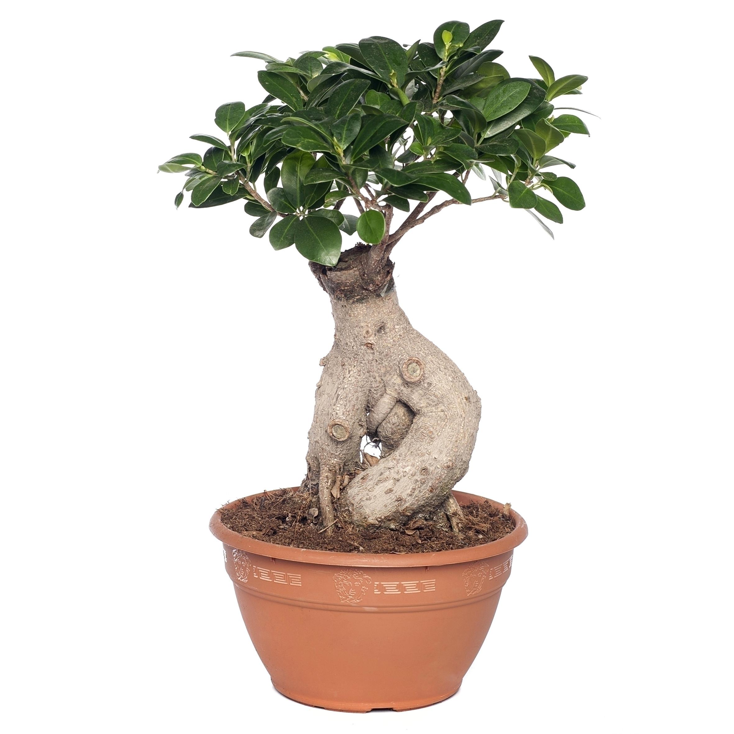 ficus microcarpa ginseng pflege neu bonsai verzorgen podocarpus bonsai with bonsai verzorgen top