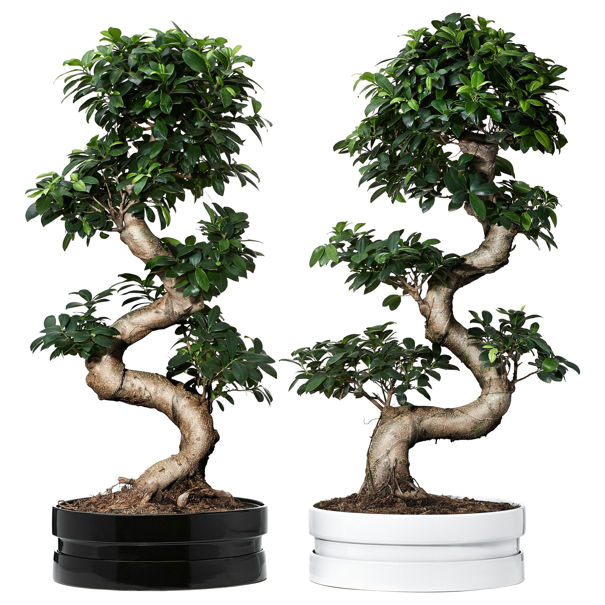 Ficus Microcarpa Bonsai Tree Care Pflanze Mit A Bertopf Ficus