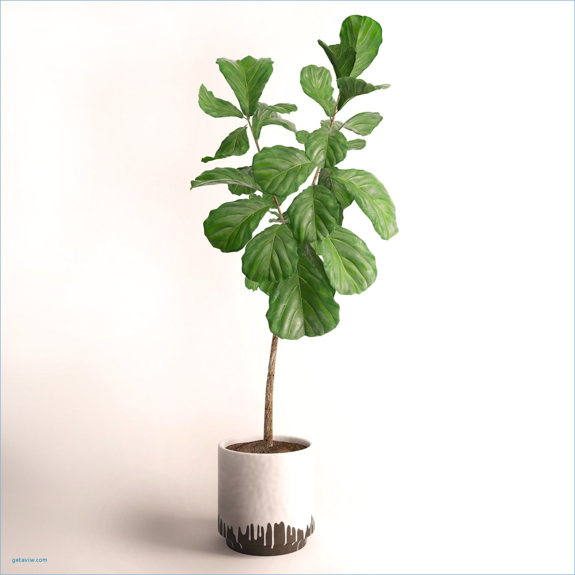Ginseng Bonsai Pflege : ficus microcarpa ginseng how to take care adinaporter ~ Watch28wear.com Haus und Dekorationen