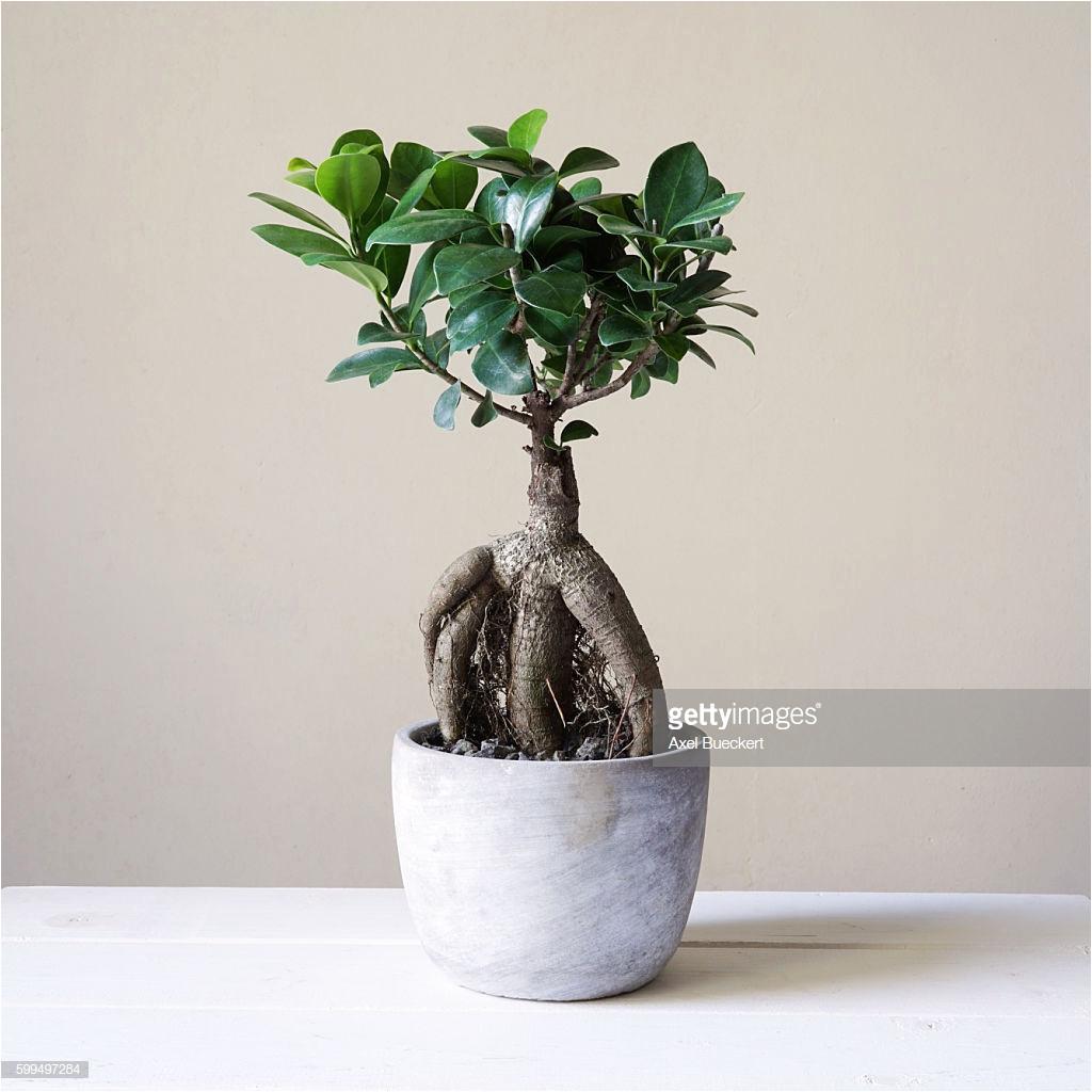 ficus microcarpa ginseng pflege luxus bonsai verzorgen free prebonsai with bonsai verzorgen simple