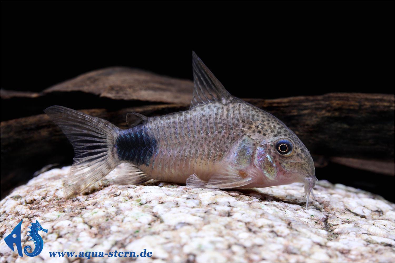 corydoras caudimaculatus 2 jpg