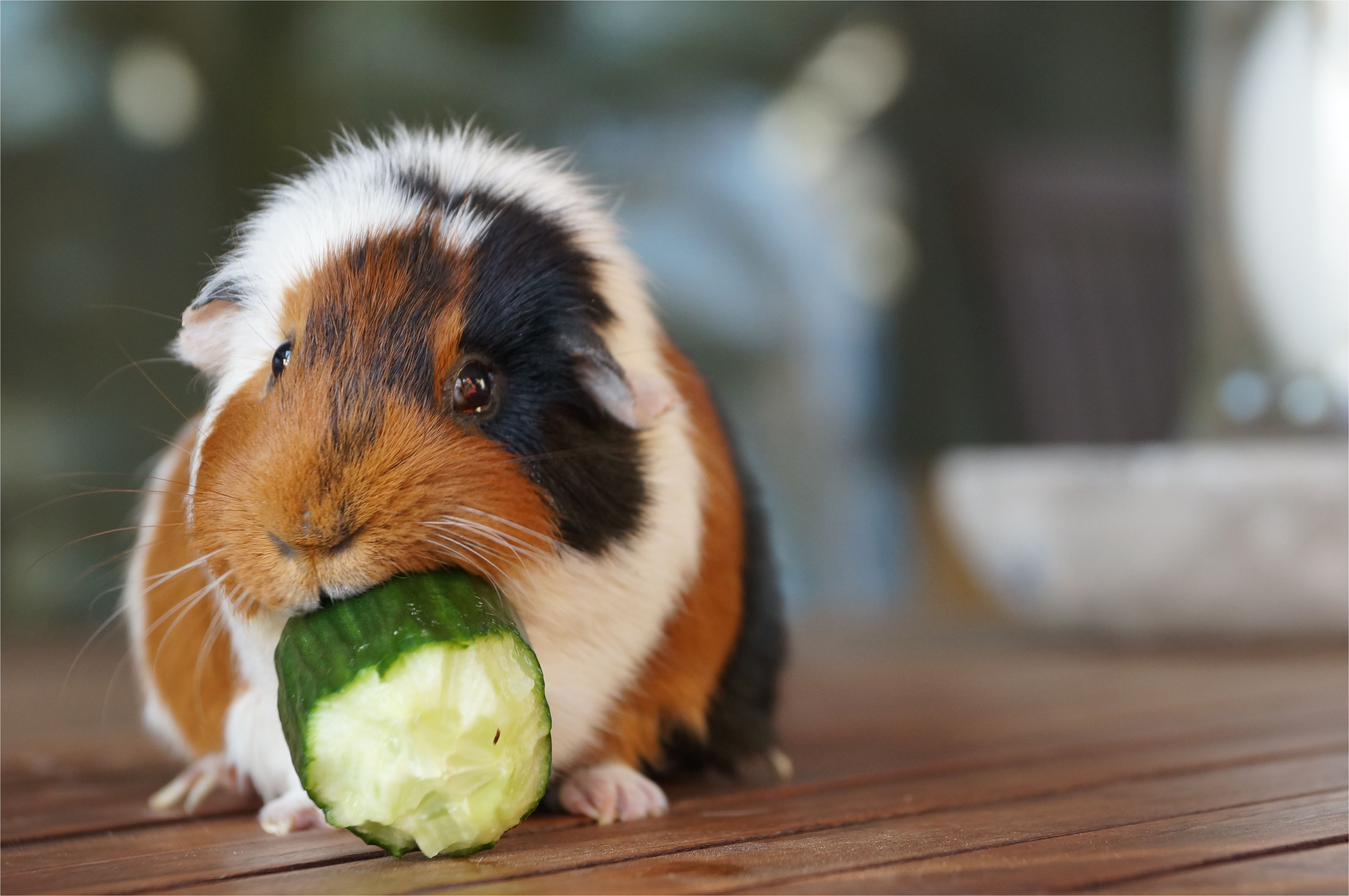 close up of guinea pig eating cucumber on floorboard 675608313 59fb3a8489eacc00377dfc8f jpg