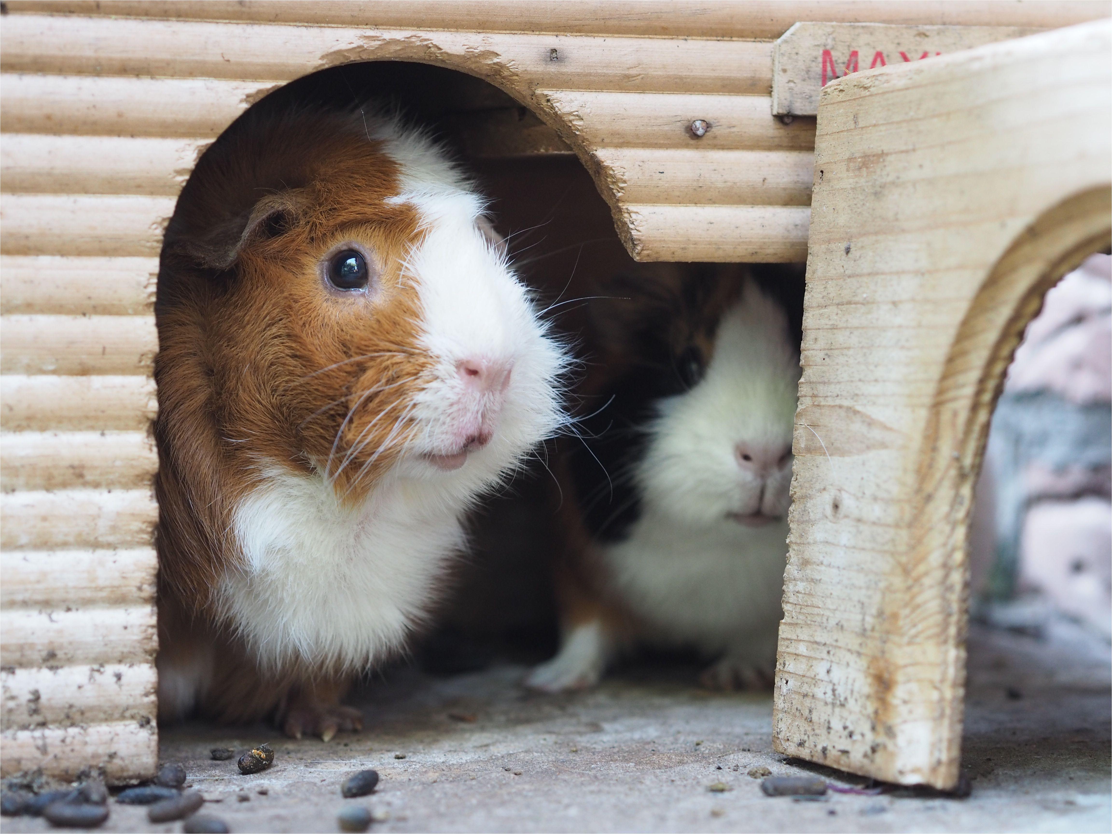 close up of guinea pigs in pet house 727137577 59fb6dcaec2f64003701d52f jpg