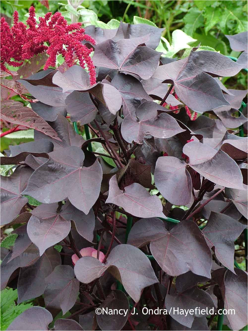 black leaved cotton gossypium herbaceum nigrum with hopi red dye amaranth amaranthus in early september nancy j ondra at hayefield