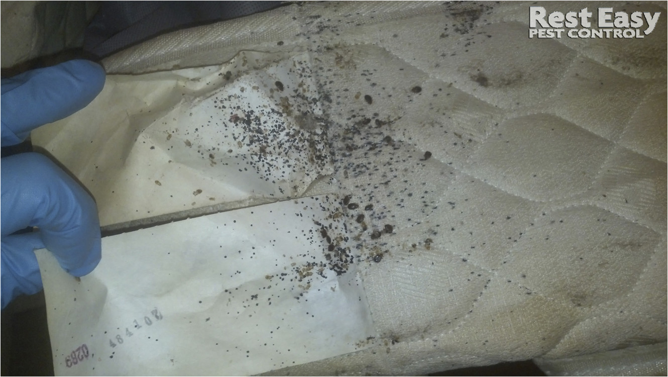 large bed bug infestation adult bed bugs on mattress bed bug fecal stains on mattress