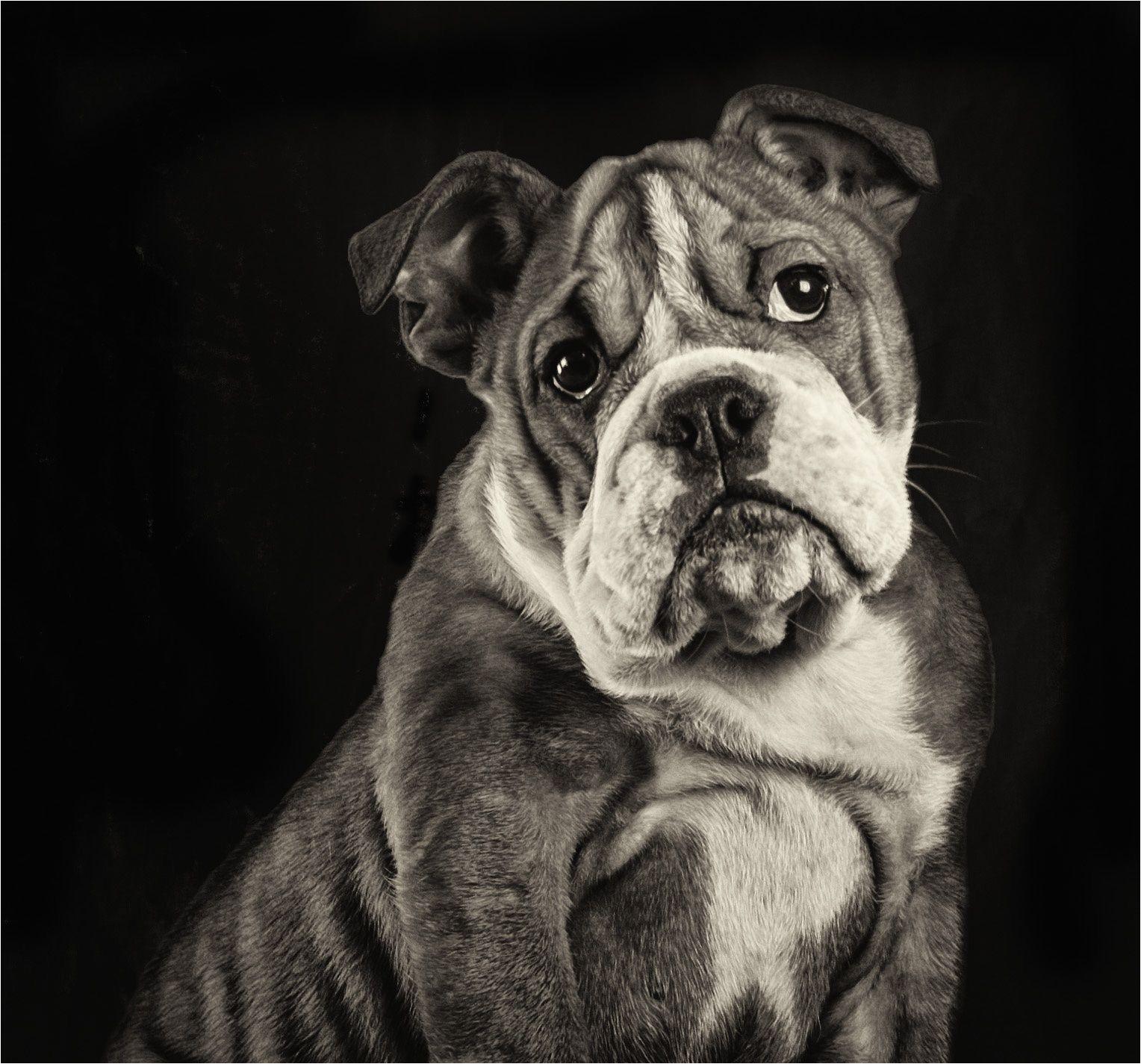 boris english bulldog puppy awwww photograph by marco koopman dog dogphoto blackandwhite