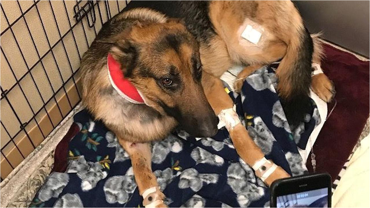 dog shot multiple times saved 16 year old owner from burglary people com