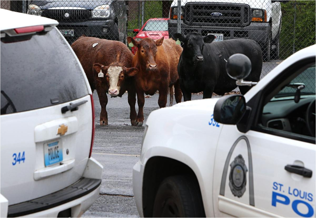 cattle that escaped from st louis slaughterhouse are headed to animal sanctuary law and order stltoday com