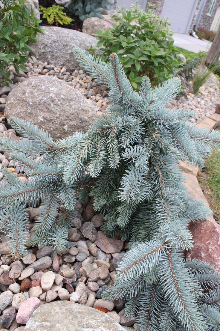 procumbens blue spruce installed by seasonal gardens omaha ne