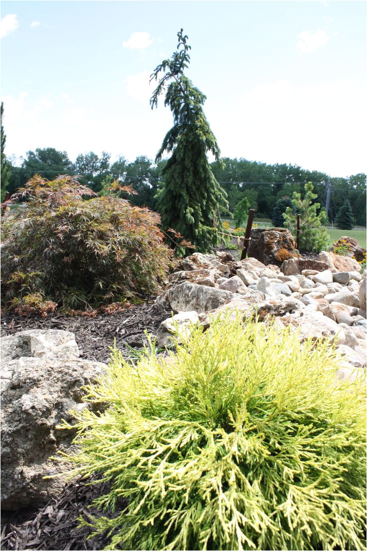 golden mop in foreground with crimson queen japanese maple brun weeping serbian spruce in the