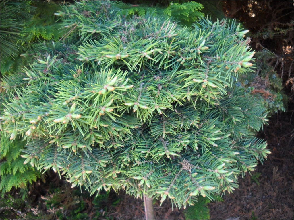 abies concolor dwarf from jerry morris
