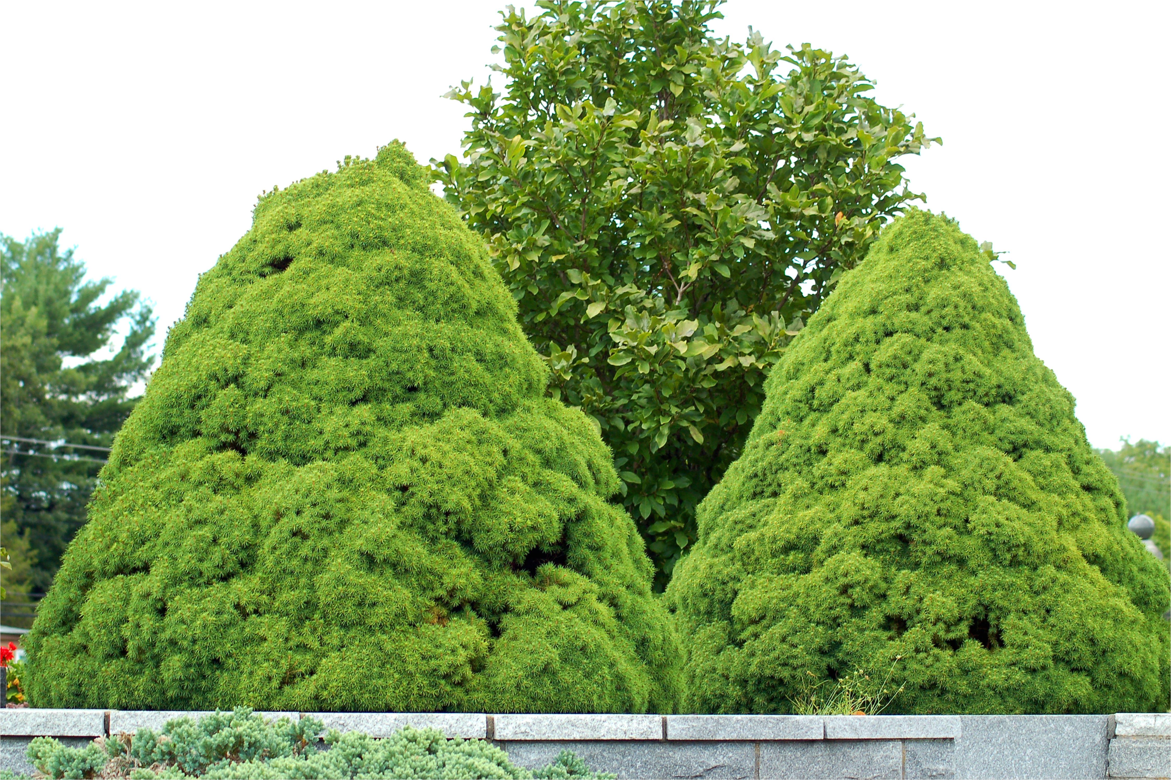 dwarf alberta spruce pair big 56a583a75f9b58b7d0dd3f8b jpg