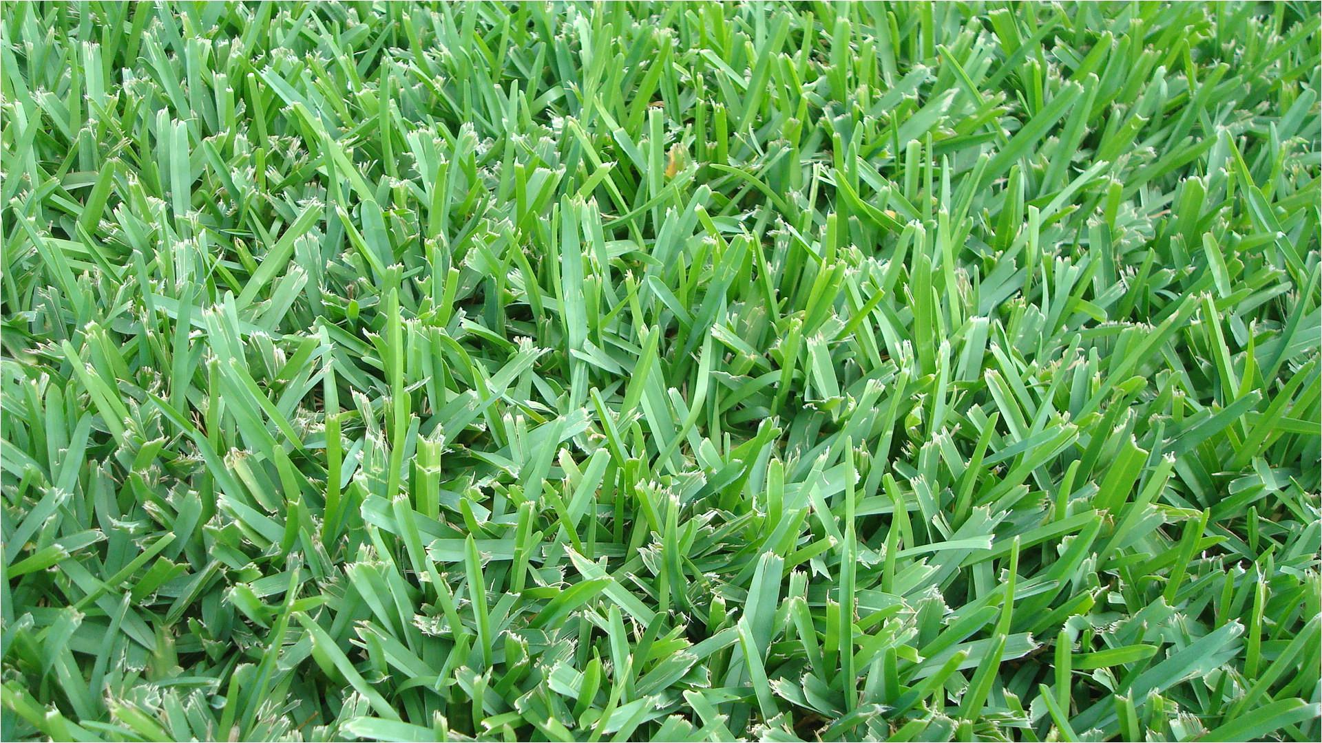 how to identify austin grass types