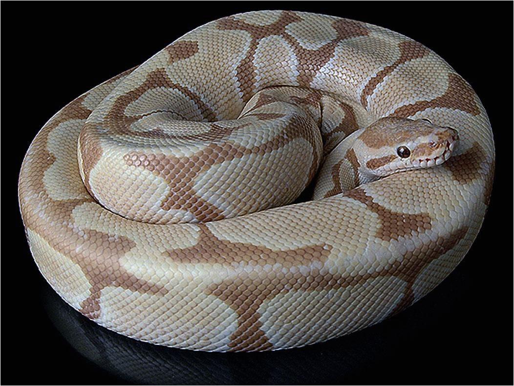 caramel albino python snake