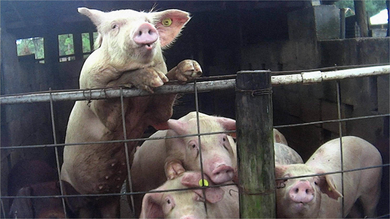 investigacia n revela ca mo pisotean apua alan y arrastran a animales moribundos en cuatro granjas de florida univision 23 miami univision