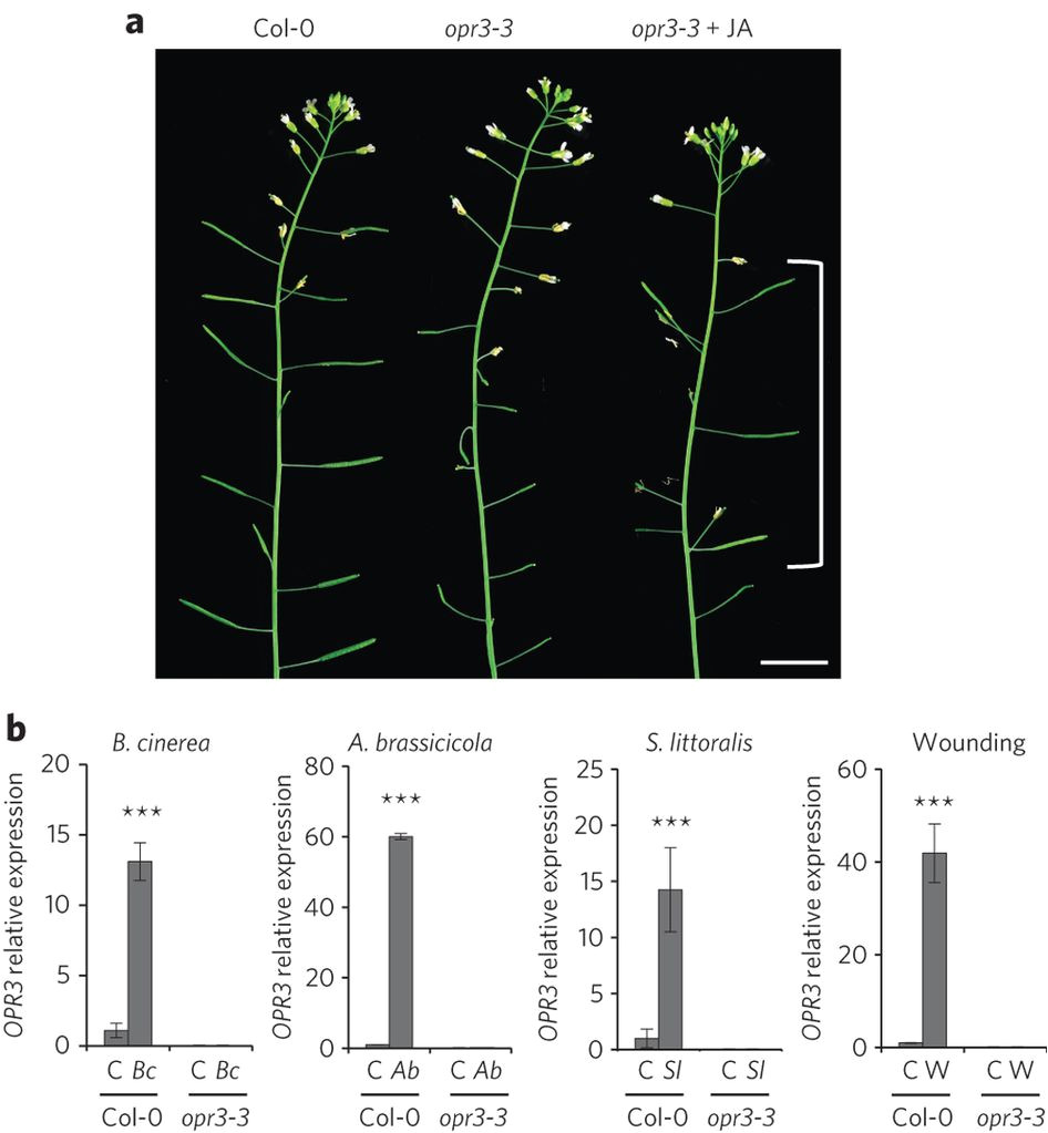 an opr3 independent pathway uses 4 5 didehydrojasmonate for jasmonate synthesis nature chemical biology