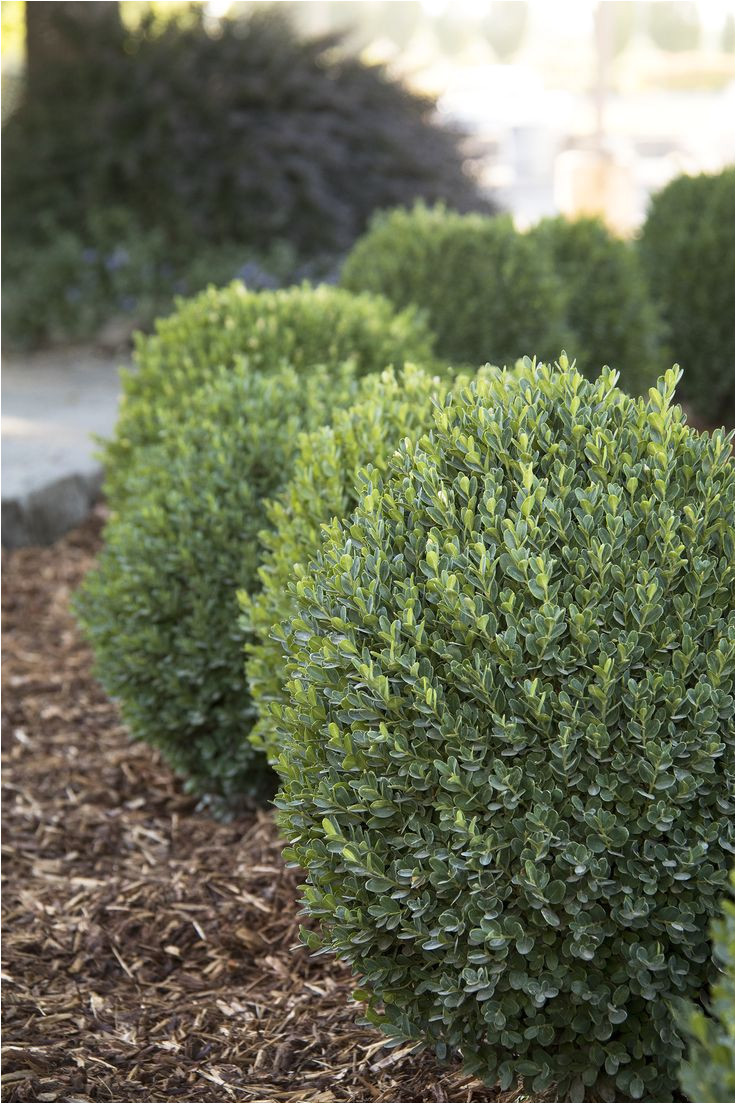 petite pillara dwarf boxwood is an exceptional new dwarf boxwood with a natural columnar form