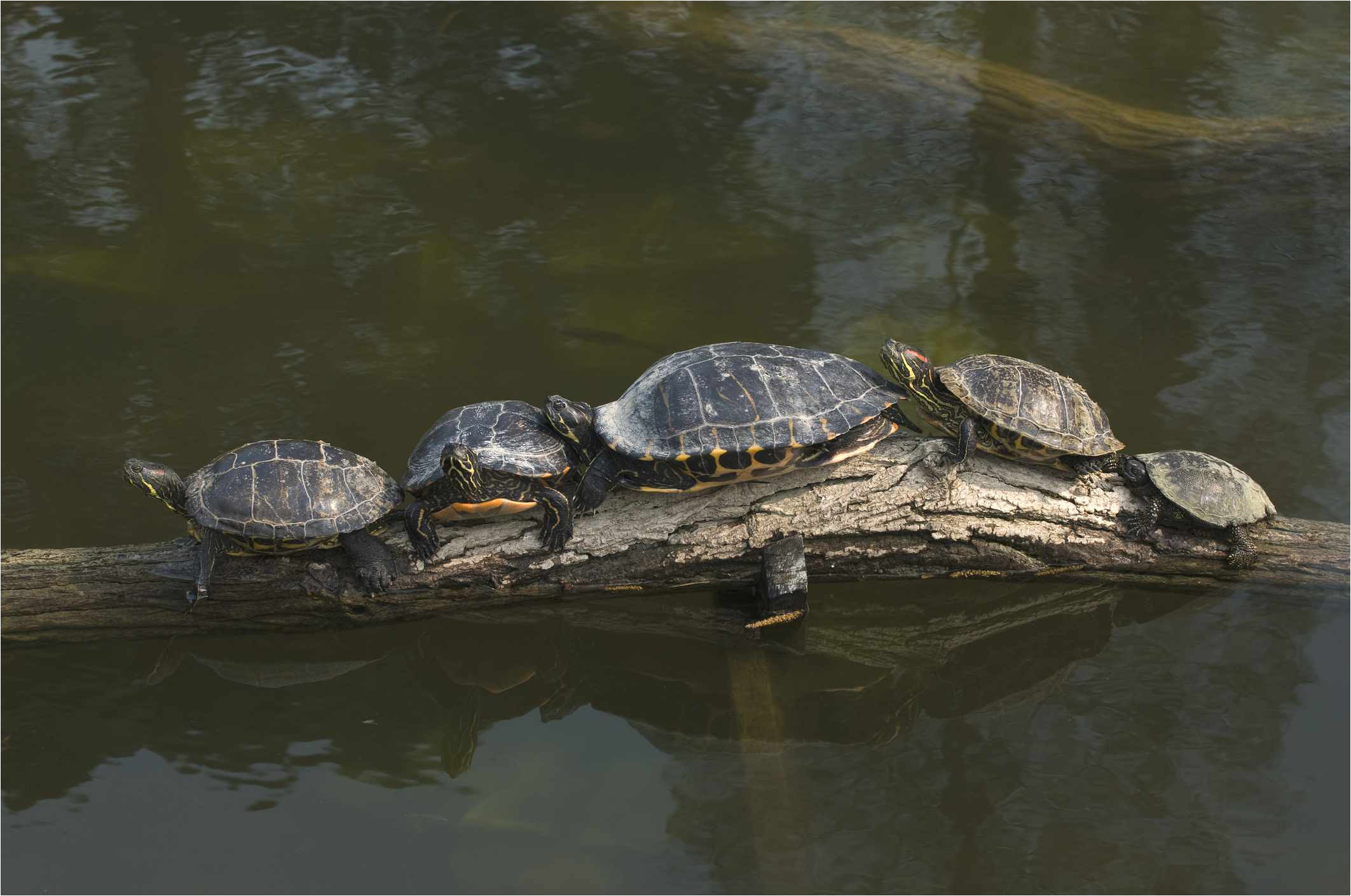 aquatic turtles lined up on a log