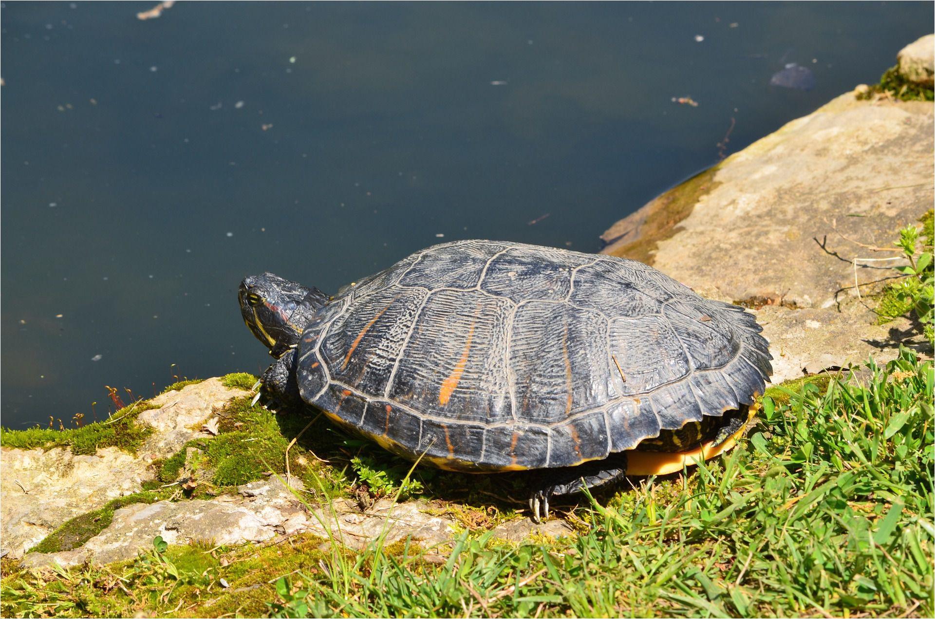 basking red eared turtle 1488378 1920 5934e53e3df78c08abe2893c jpg