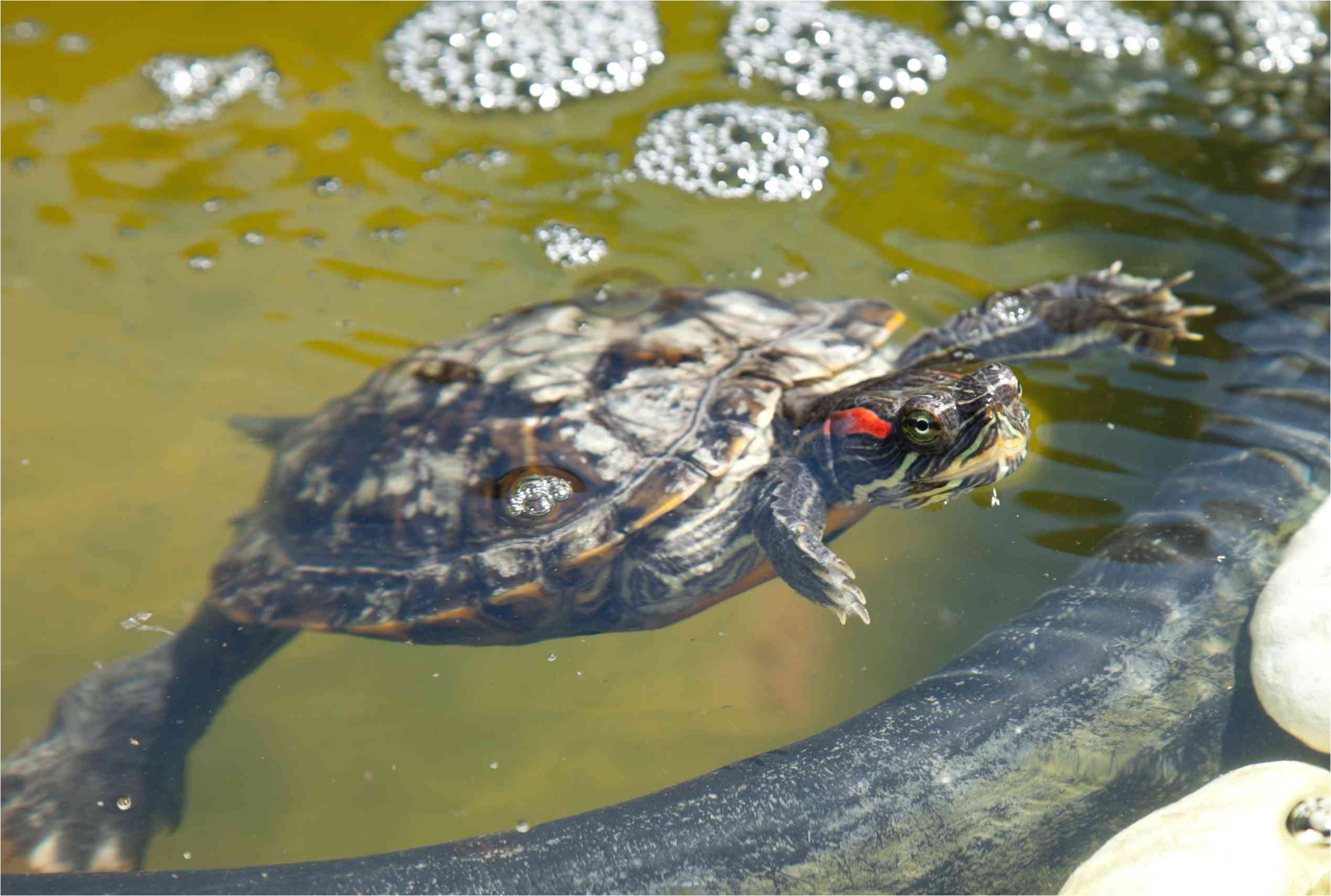 red eared slider in a pond