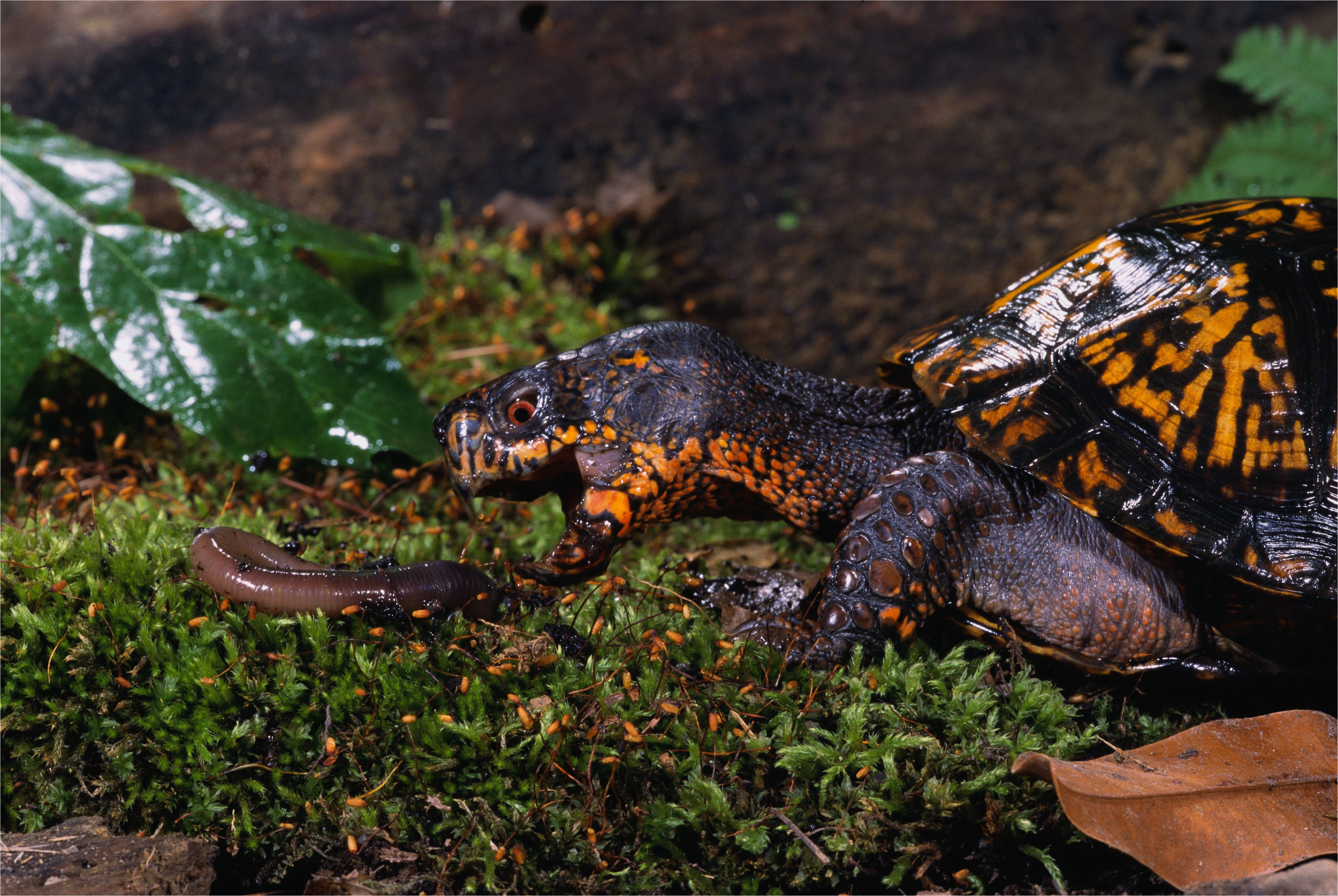 eastern box turtle preying on a worm