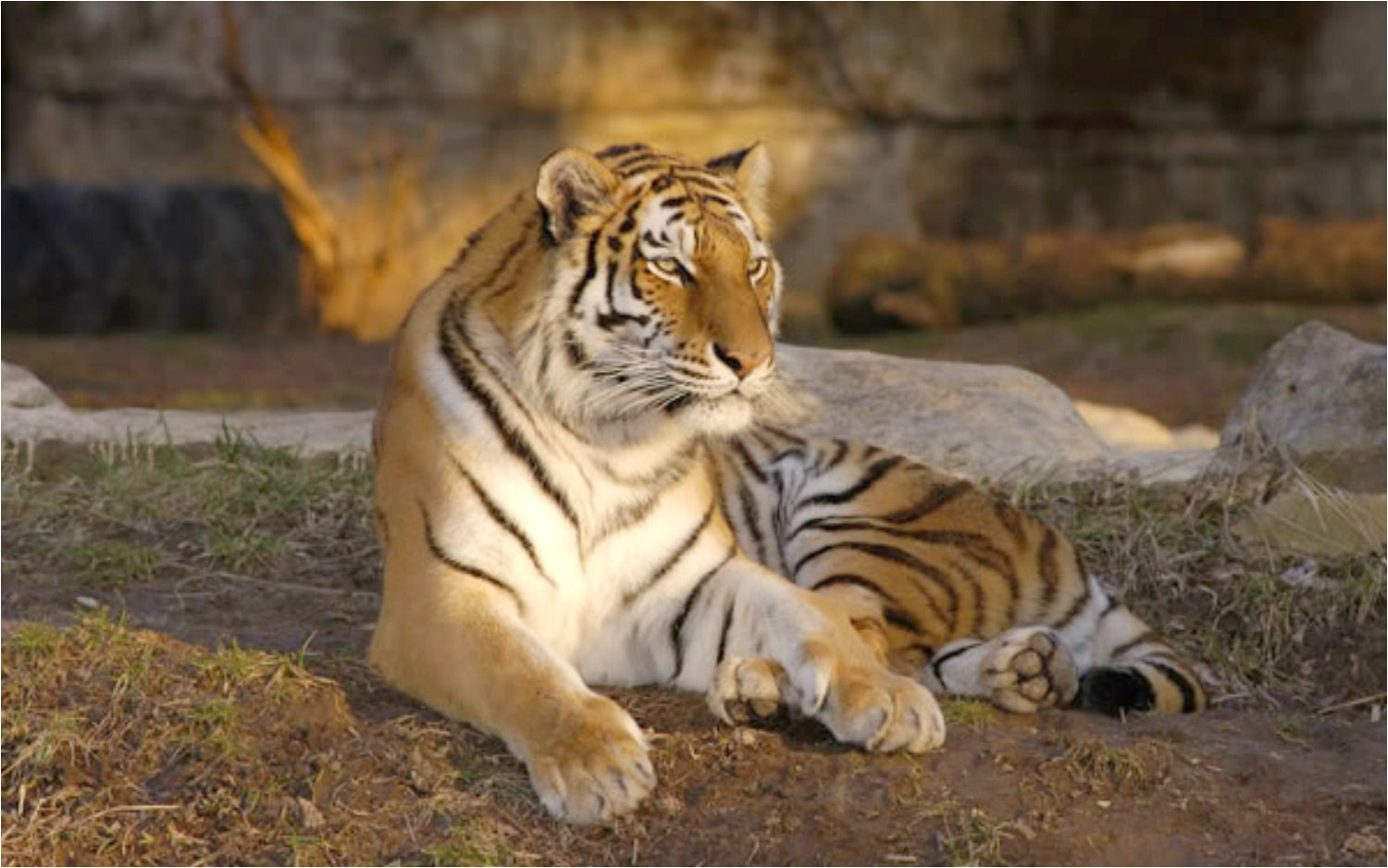 a tiger at the st louis zoo