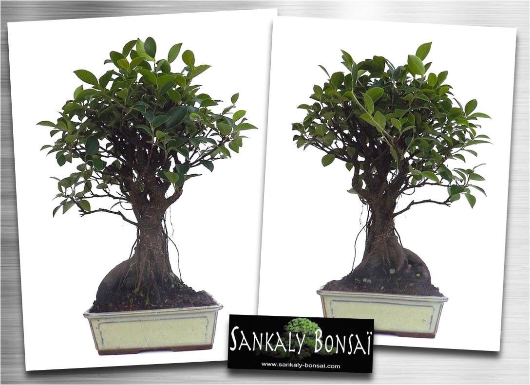 bonsai ficus retusa www sankaly bonsai com
