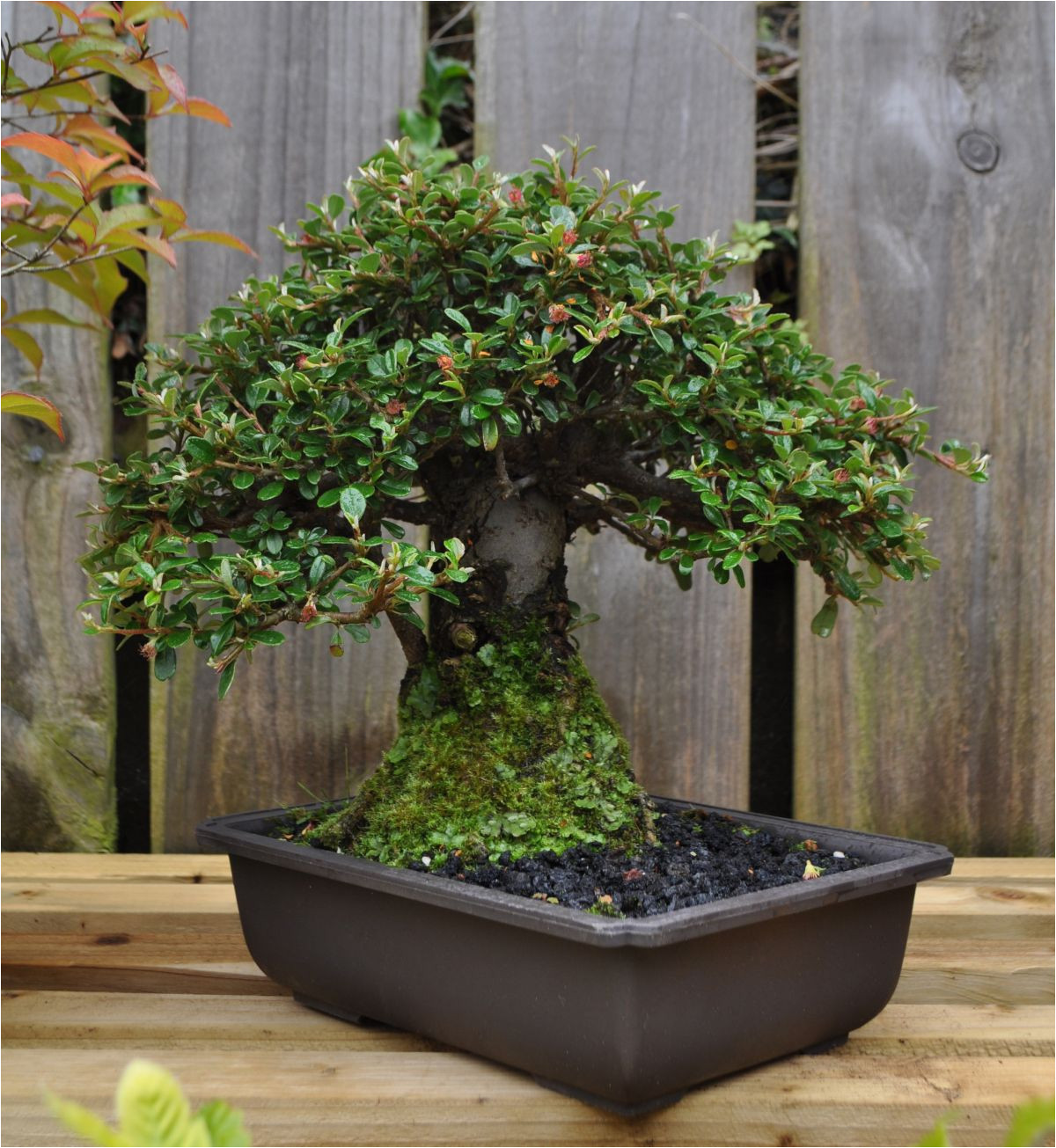 dsc 0262 bonsai eejit ficusbonsaigardens