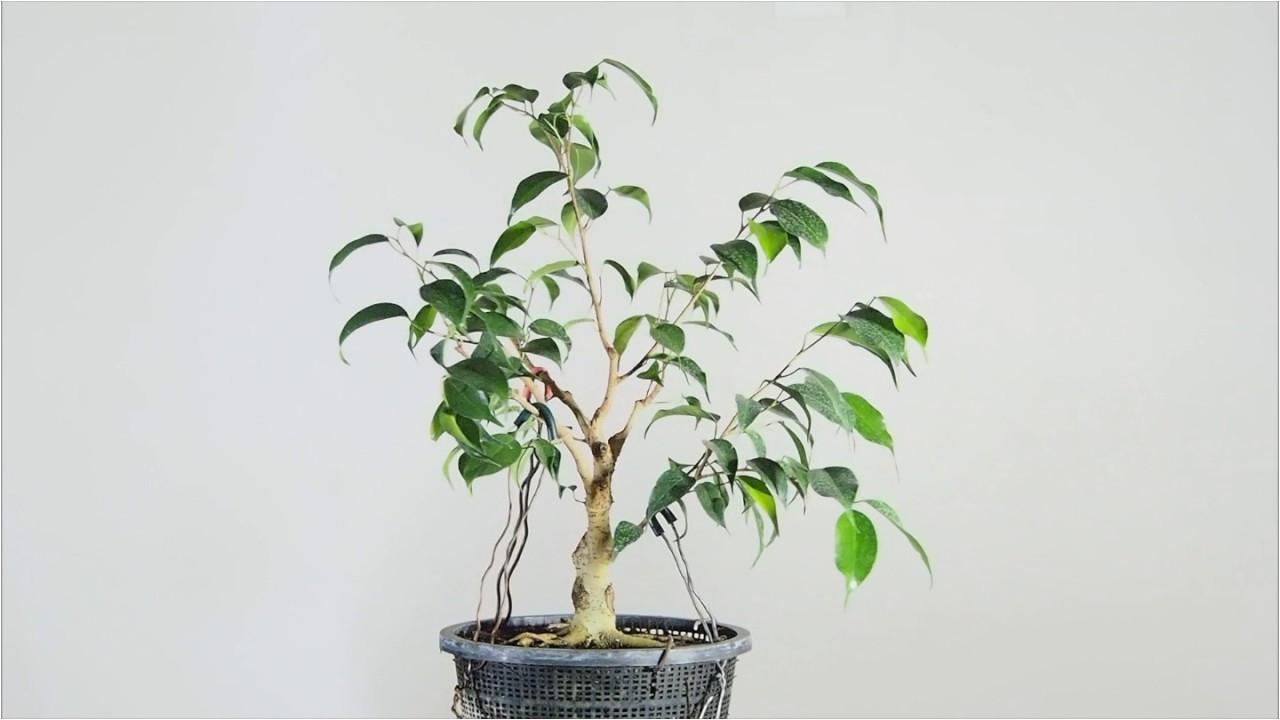ficus benjamina bonsai in training
