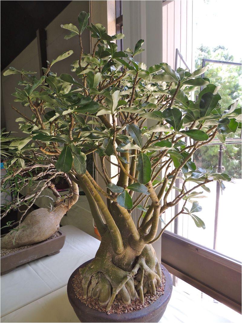 full size picture of impala lily adenium multiflorum small trees ficus plant