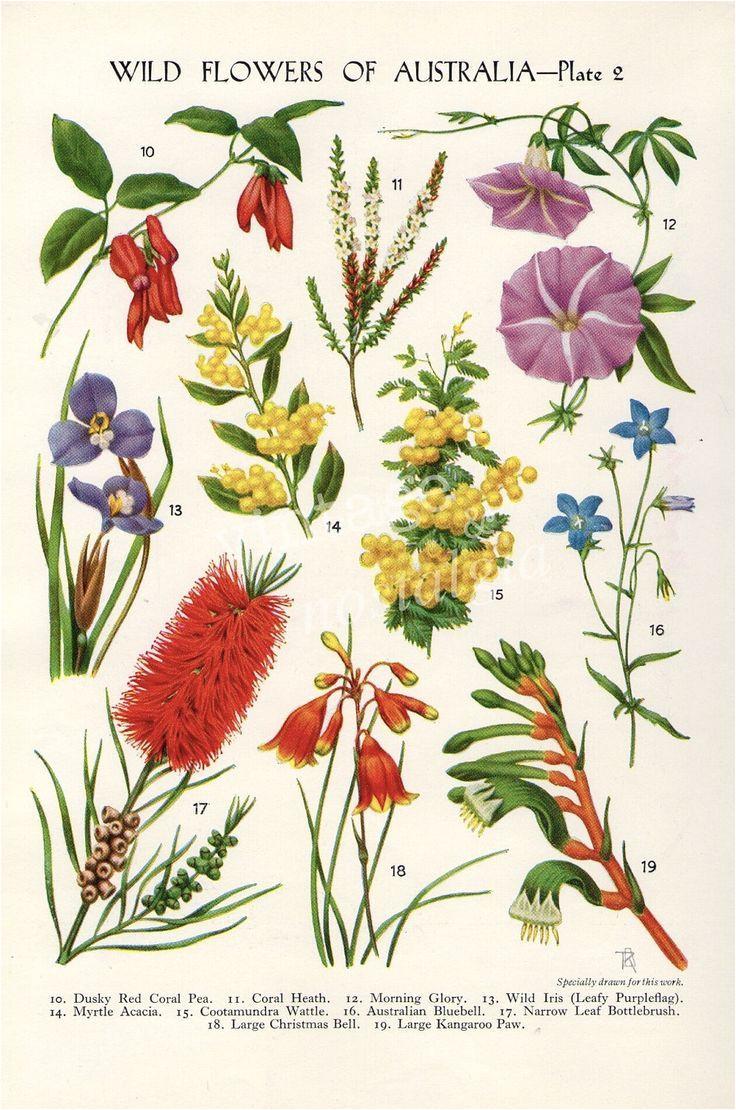 vintage botanical iilustration australian native flowers australian wildflowers australian art australian tattoo