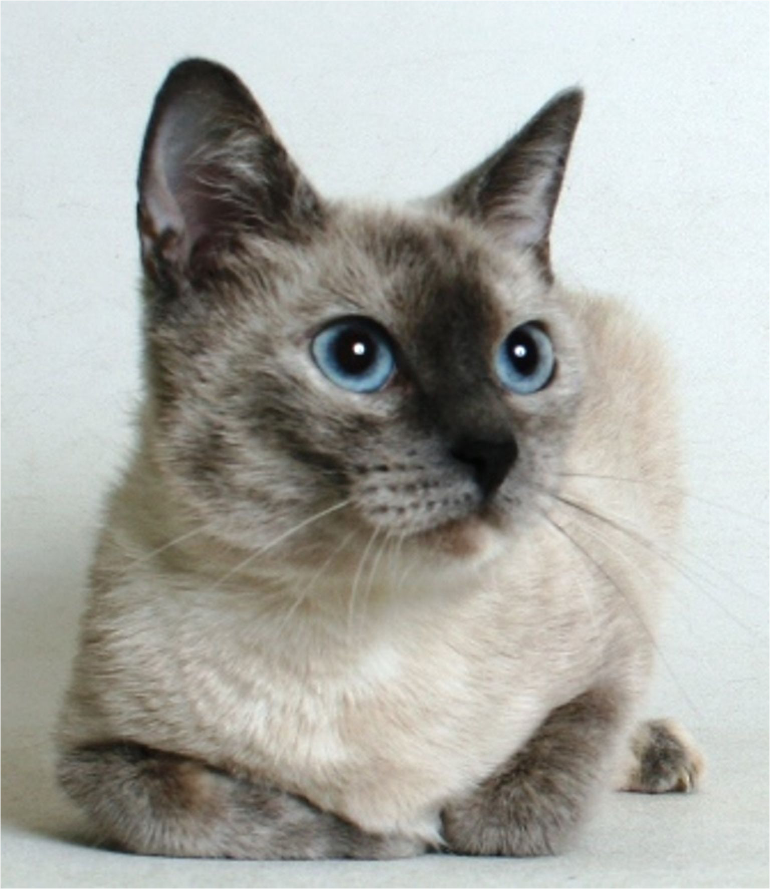 serena is a 2 year old female cream silverpoint siamese mix