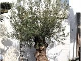 100 Year Old Bonsai Trees for Sale 100 Year Old Bonsai Gnarly Olive Tree Free Delivery
