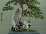 100 Year Old Bonsai Trees for Sale 21 Best Images About Bonsai On Pinterest Beautiful