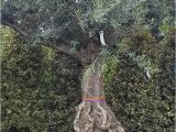 100 Year Old Bonsai Trees for Sale Very Old 100 Year Old Olive Trees with Beautiful Gnarled